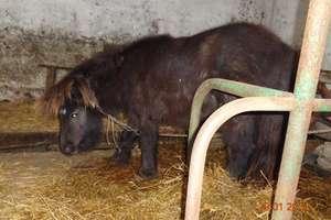 Zagubiony kucyk na trasie Olecko -Ełk