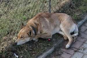 Pies sam wypadł z okna kamienicy w Olsztynie, czy ktoś mu pomógł? Są świadkowie