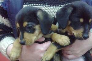 Dwa urocze szczeniaki szukają domu