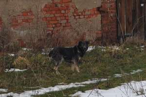 Po Sarnowie błąka się groźny pies