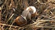 O ślimaku winniczku i poszukiwaniu drugiej połówki