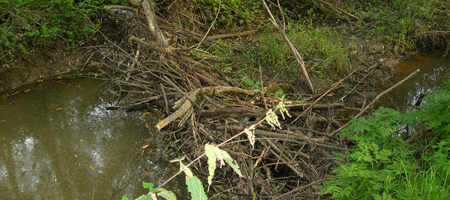 Tamy tworzone przez bobry powodują zatory w przepływie wody i - tym samym - zalewiska na polach