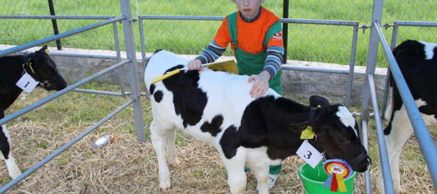 W sobotę odbędzie się ocenianie bydła, zaś w niedzielę jego pokaz