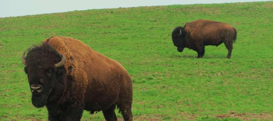 Na szlaku możemy obejrzeć m.in. hodowlę bizonów w Kwitajnach Wielkich