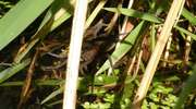 Bagnik - pająk który gryzie i nurkuje