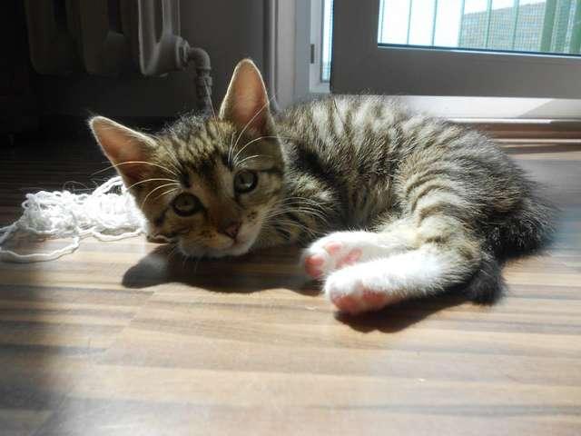 11 - tygodniowe kociątko szuka przyjaciela i domowego ciepła - full image