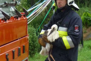 Młody bocian wrócił do gniazda. Pomogli mu strażacy