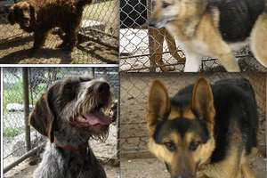 Poszukujemy właścicieli czterech psiaków