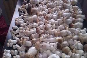 Wysyp grzybów pod Ostródą!