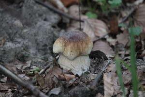 W lasach koło Bisztynka są już grzyby