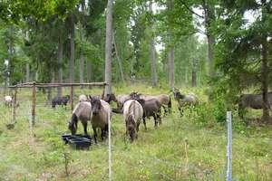 Polskie koniki znów pomagają leśnikom