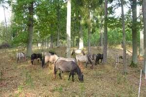 Koniki polskie pomagają odtworzyć świetliste dąbrowy na Mazurach