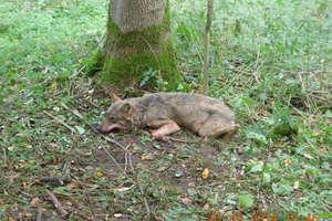 Leśnicy uratowali wilka