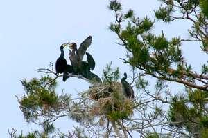 Odstrzelą kormorany na Warmii i Mazurach