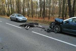 Łoś rozbił dwa samochody pod Gutkowem