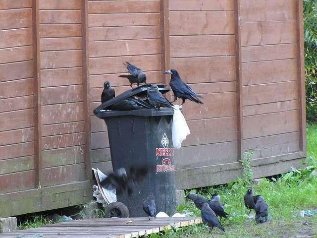 W miastach ptaki znajdują łatwe pożywienie - full image