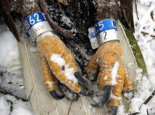 Martwy zaobrączkowany bielik, znaleziony na początku stycznia 2015 roku na terenie Nadleśnictwa Wielbark - full image