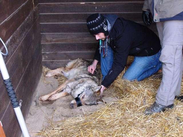 Przed badaniem wilkowi podano środki uspokajające - full image