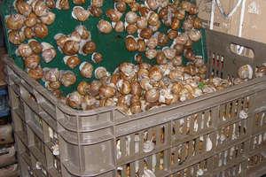 Zakaz zbierania ślimaka winniczka na Warmii i Mazurach