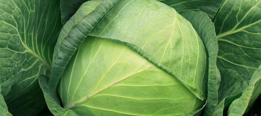 Wybór odmian odpornych na kiłę to dobry krok w ograniczeniu ekspansji tej choroby na plantacjach.