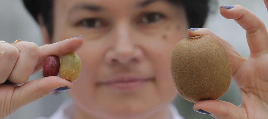 Dr hab. Anna Bieniek z minikiwi z kortowskich ogrodów. Dla porównania z drugiej strony kiwi sprowadzane z Włoch.