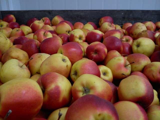 Jabłka najlepiej przechowywać w temperaturze 1-2 stopni Celsjusza. - full image