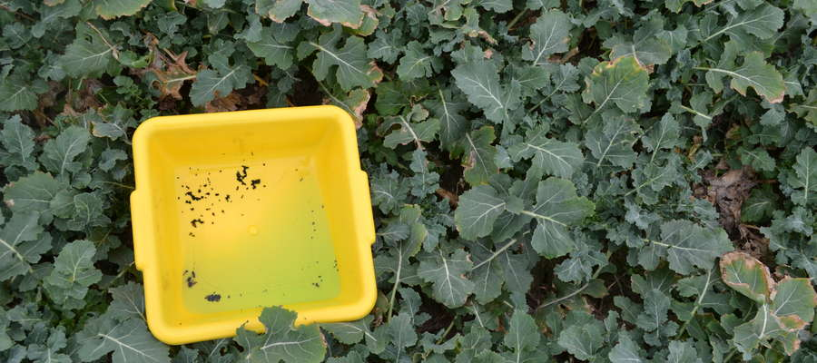 Żółte naczynie do sygnalizacji występowania szkodników rzepaku