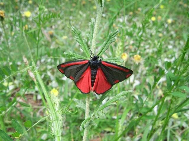 Proporzyca marzymłódka - tak się nazywa ten piękny motyl - full image