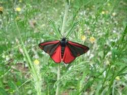 Proporzyca marzymłódka - tak się nazywa ten piękny motyl