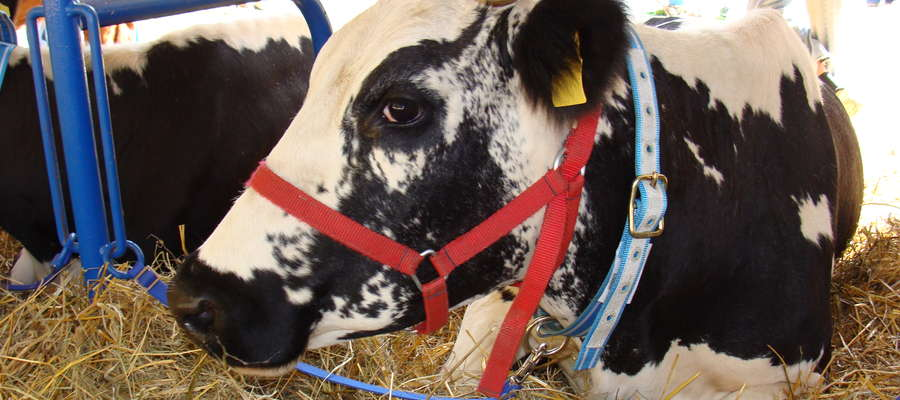 """Płatności rolnośrodowiskowe w ramach pakietu: """"Zachowanie zagrożonych zasobów genetycznych zwierząt w rolnictwie"""" można otrzymać m.in. do hodowli bydła rasy białogrzbiete"""