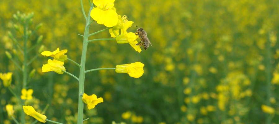 Należy unikać wykorzystywania intensywnie chronionych roślin jako pożytku dla pszczół, z jednoczesnym zachowaniem okresu prewencji po zabiegu, który powinien obejmować przynajmniej czas niezbędny do całkowitego wyschnięcia cieczy użytkowej na roślinach