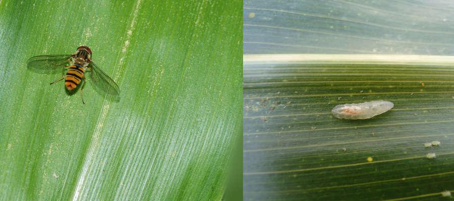 Z lewej: bzyg, owad dorosły; z prawej: larwa bzyga zjada mszyce