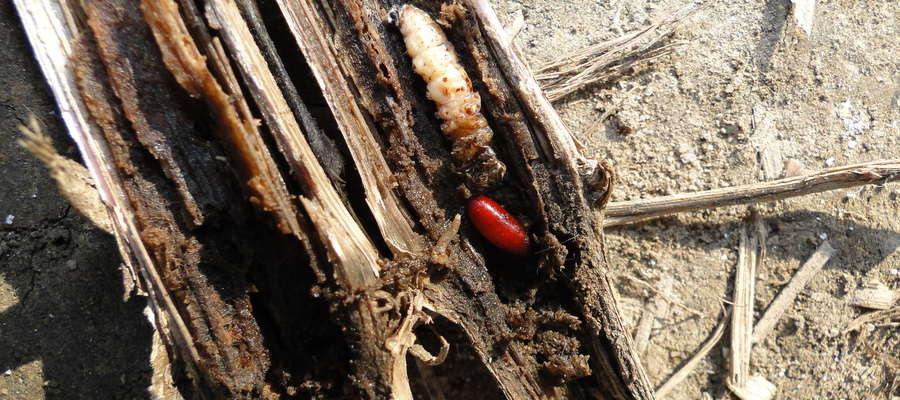 Gąsienica omacnicy zaatakowana przez rączyce - poczwarka rączycy obok martwej gąsienicy