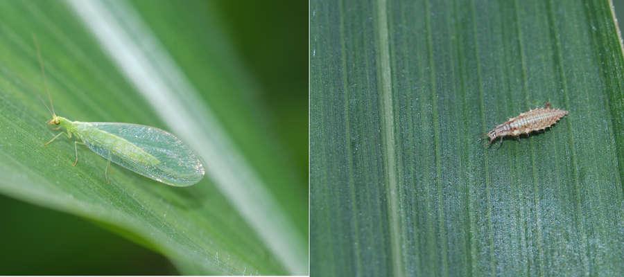 Z prawej: złotook, owad dorosły; z prawej: larwa złotooka zjada m.in. mszyce, wciornastki, młode gąsienice omacnicy