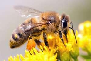 Pszczoła, miód i srodowisko