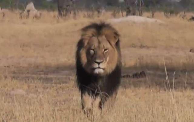 Słynny lew z Zimbabwe wykrwawiał się dwa dni. Internauci żądają kary dla myśliwego - full image