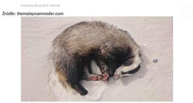 Pijany borsuk zdechł w klinice dla zwierząt - full image
