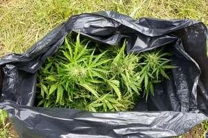 CBŚP zlikwidowała dwie plantacje marihuany pod Olsztynem