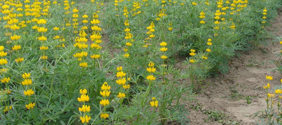 Łubin żółty