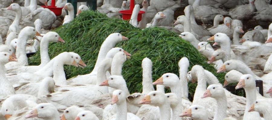 Walory jakościowe produktów polskiej gęsi w dużej mierze są wynikiem naturalnych metod ich utrzymania i tuczu