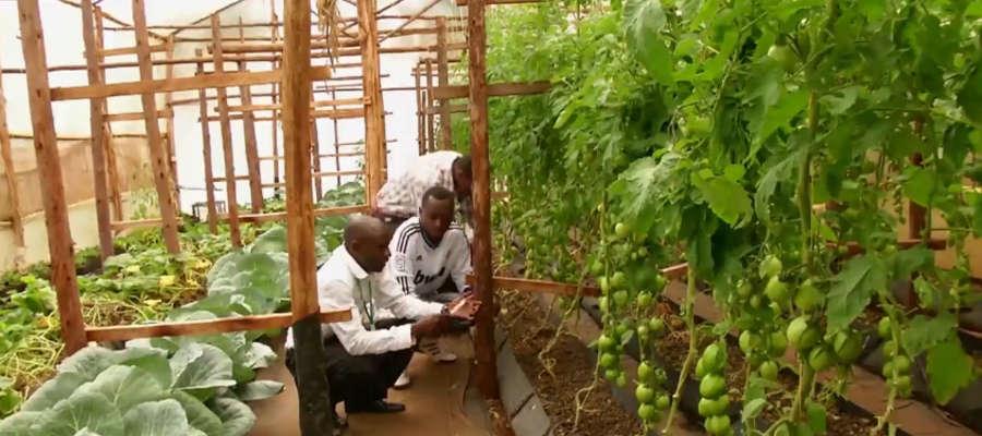 W uprawie hydroponicznej rośliny nie rosną w ziemi, ale w specjalnych pojemnikach z granulatem i wodą.