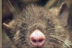 Naukowcy odkryli gatunek szczura ze świńskim nosem