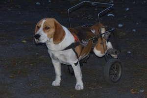 Bestialsko pobity Feluś porusza się na wózku