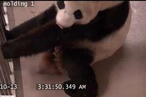 Kamery monitoringu zarejestrowały narodziny pandy