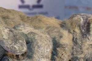 Zamrożony lew to najlepiej zachowany eksponat znaleziony w tej części Rosji