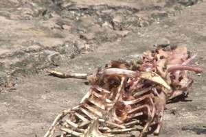 Tysiącom krokodyli hodowlanych grozi śmierć głodowa przez amerykańskie sankcje