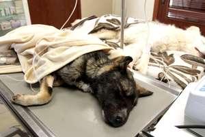 Kolega poprosił go o zabicie psa. Bił go łopatą i porzucił w krzakach