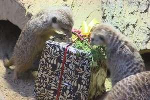 Zwierzęta z ZOO otrzymały świąteczne prezenty