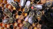 Dramat pszczelarzy w Rychlikach. Pszczele rodziny zatrute opryskami