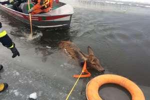 Ratowali jelenie, które wpadły do lodowatej rzeki